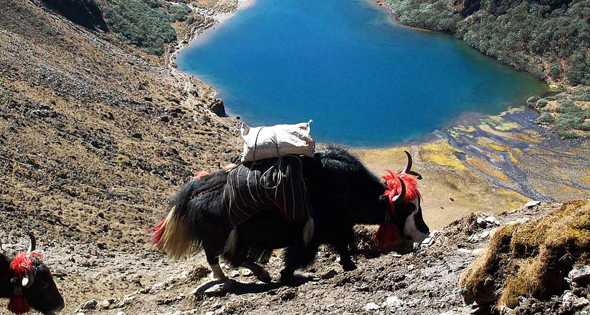 Druk-Path-Trek-Yaks