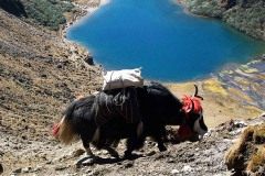 Druk-Path-Trek-Yaks
